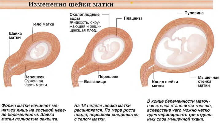 При беременности шейка матки опускается - результаты поиска