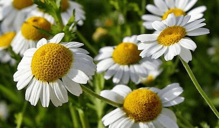 Растительное сырье можно выращивать и собирать самостоятельно